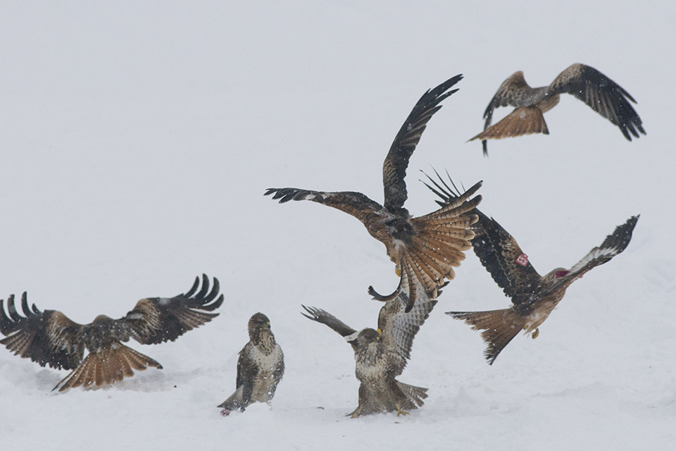 Red Kites in snow